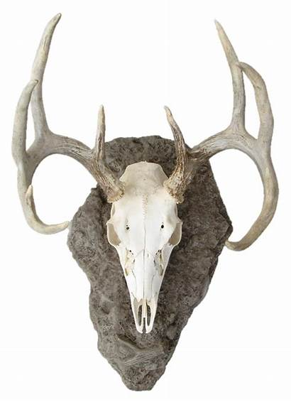 Skull Deer Mounts Mount Transparent Ar01 Pngio