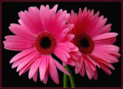 Nature Four Seasons Pink Daisy