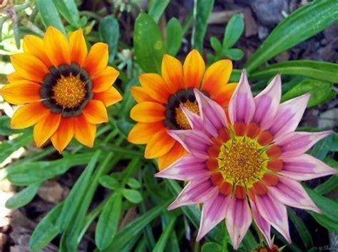 menanam bunga gazania bibitbungacom