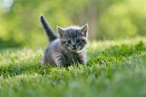 Pictures Of Grey Kittens - Pictures Of Animals 2016