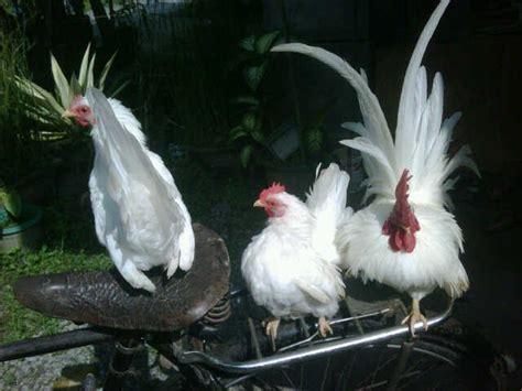kate serama ayam hias