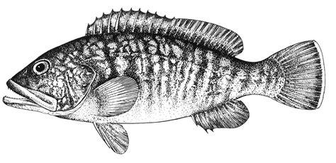 grouper drawing dusky marginatus banned fishery completely years drawings paintingvalley sad epinephelus balik