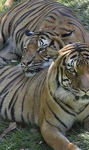 Taj & Who Dey | Malayan tiger, Cincinnati zoo, Zoo