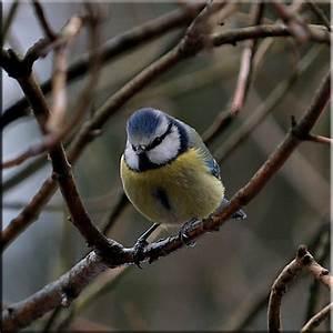 Heimische Singvögel Bilder : heimische singv gel blaumeise ~ Whattoseeinmadrid.com Haus und Dekorationen