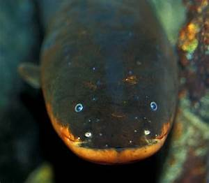 Electrophorus electricus (Electric Eel) — Seriously Fish