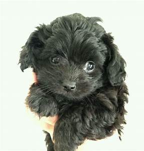 OUTSTANDING F1 CHI-POO PUPS | in Waterlooville, Hampshire ...