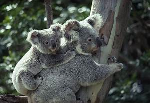 Koala Bears Newly Discovered Unique Sex Organ · Guardian