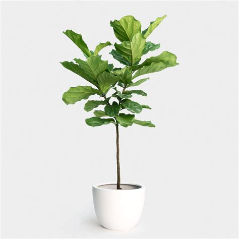 ficus lyrata fiddle leaf fig tree greenery nyc
