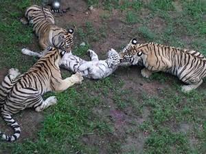 Cachorro de tigre blanco muere por mordidas (3)