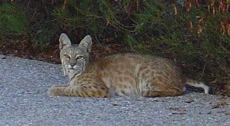 Half Cat Half Bobcat  Wwwimgkidcom  The Image Kid Has It