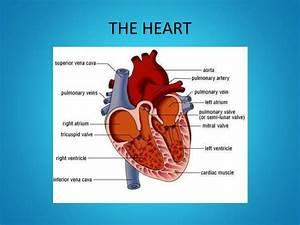 Ppt - Year 11 Gcse Pe The Cardiovascular System Powerpoint Presentation