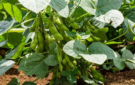 your guide to growing non gmo soybeans at home rodale s