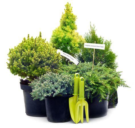 vasi per alberi alberi dell alberello della conifera in vasi fotografia