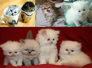 Teacup Persian Cat Full Grown