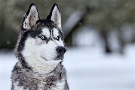 alimentazione alaskan malamute siberian husky razza con scheda descrittiva