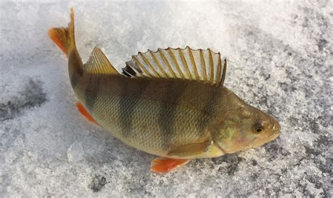 perch fish facts