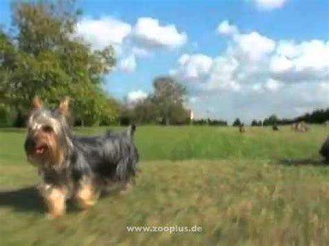Hundefutter Für Yorkshire Terrier