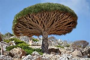 Drachenbaum Schneiden Video : drachenbaum dracaena pflege vermehrung und schneiden ~ Watch28wear.com Haus und Dekorationen