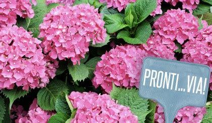 significato fiore ortensia significato dei fiori perch 233 232 meglio non regalare l
