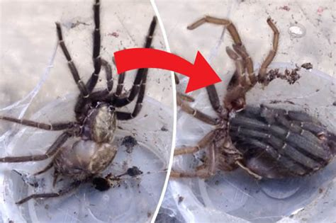 Can Tarantulas Shed Their Skin by You Ll Wish You D Never Watched This Tarantula Shed Its
