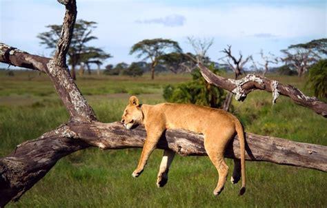 wallpaper tree leo sleeping africa lioness tanzania