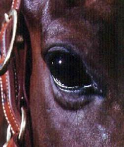 Decoding The Discharge From Your Horse U0026 39 S Eyes