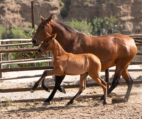 pre fillies yeguada dimoba andalusian bloodlines filly tenaz torera madrilena bay