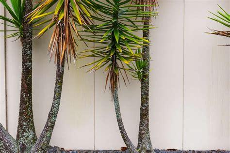 Yucca Palme Wie Oft Gießen by Yucca Palme Tipps Tricks Bei Gelben Bl 228 Ttern H 228 Ufigen