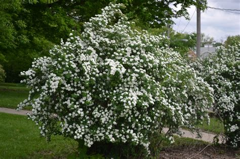 Summer Snow by Snowmound Spirea Is A Late To Early Summer