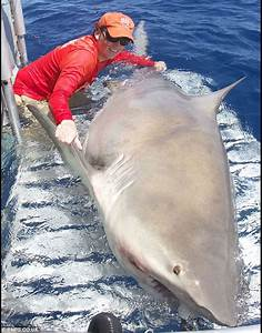 Pictured: Capture of the 1,000-pound bull shark lurking ...