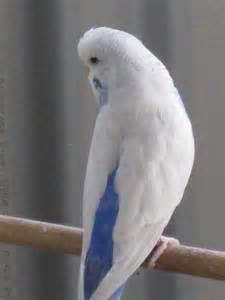 Sky Blue Budgies Parakeets