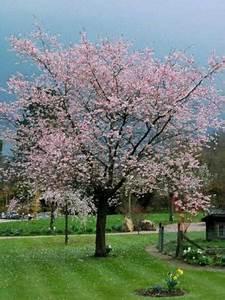 Taille De Cerisier : cerisier du japon 39 accolade 39 prunus le jardin du pic vert ~ Melissatoandfro.com Idées de Décoration