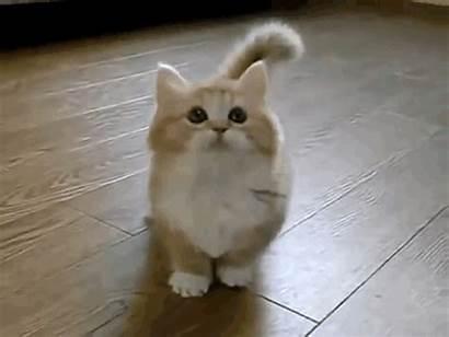 Munchkin Cat Kittens Cats Scottish Fold Read