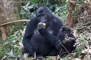 Chimanuka Group Feeds on Ripe Fruit of the Myiranthus Tree ...