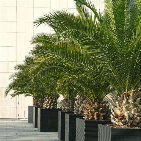 palmier en pot interieur palmier canariensis plantes et jardins