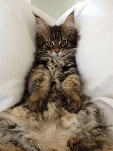Do Maine Coon Cats Shed Their Mane by Maine Coon 3 Months Http Www Mainecoonguide Maine