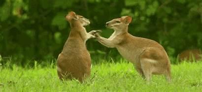 Giphy Kangaroo Gifs