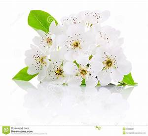 Spring Flowers Of Fruit Trees Isolated On White Background ...