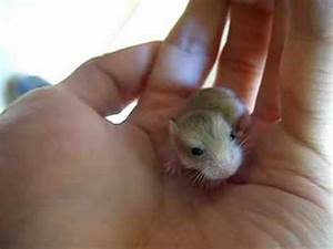 The Cutest baby Hamster you've ever seen - YouTube