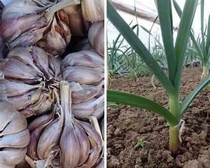 Planter Ail Rose : l 39 ail le planter le cultiver le r colter au potager nos conseils promesse de fleurs ~ Nature-et-papiers.com Idées de Décoration