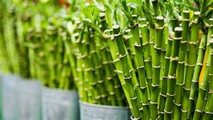 Deciphering Meaning Of Lucky Bamboo Stalks Numbers