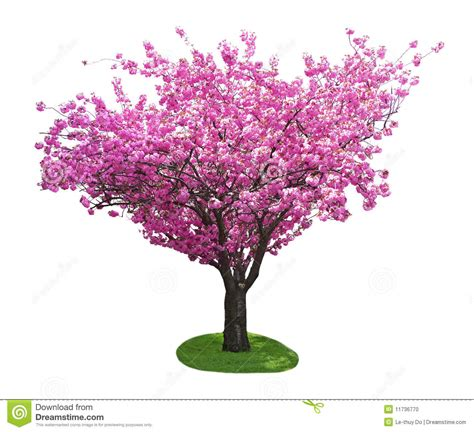 cherry tree stock photo image  single cherry