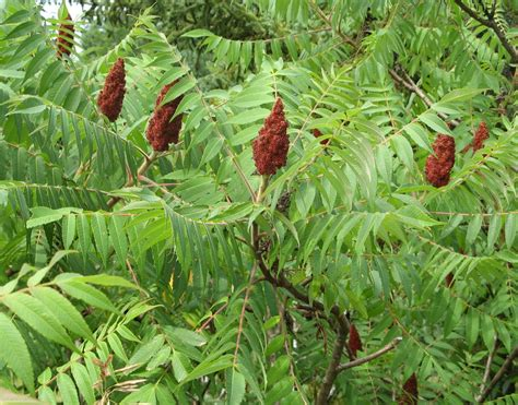 sumac cuisine veggie hoo edible and medicinal plants