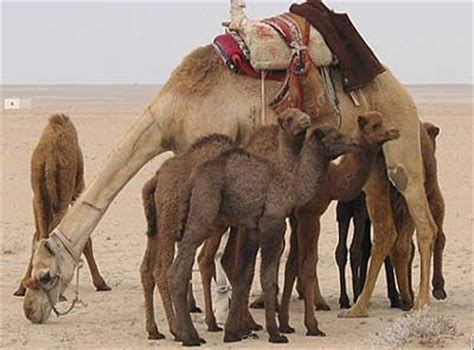 pinkbizarre funny camel pictures