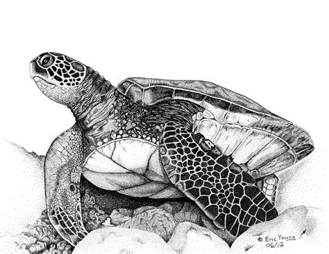 drawn turtle realistic pencil   color drawn turtle