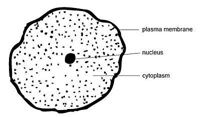 anatomy  physiology  animalsthe cell wikibooks