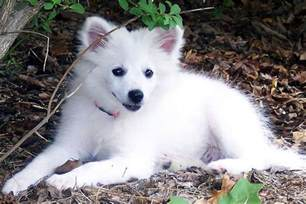 american eskimo breed appearance the american eskimo breed apps directories