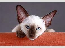 Siam Kitten Viele Tipps und tolle Bilder