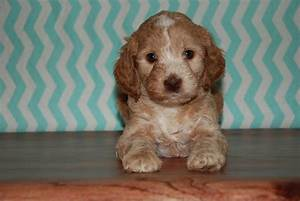 Doodle Puppies - Blessed Day Labradoodles & Goldendoodles
