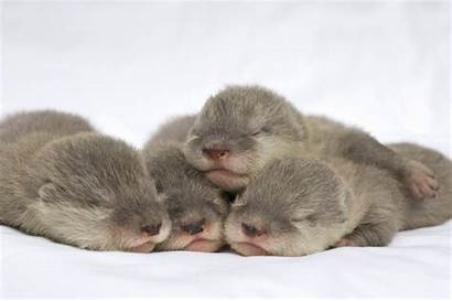 Otter Sea Otters Wallpapers Cutest Adorable Babies